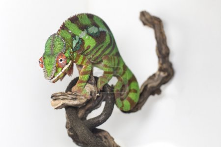 One green chameleon