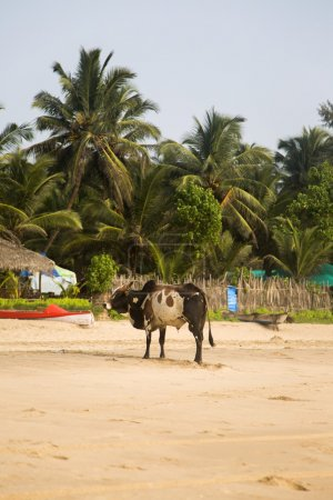 Cow on the Agonda beach