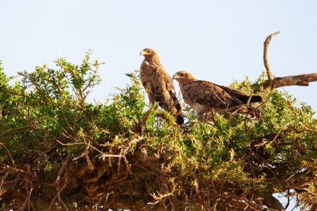 Tawny Eagles, Masai Mara