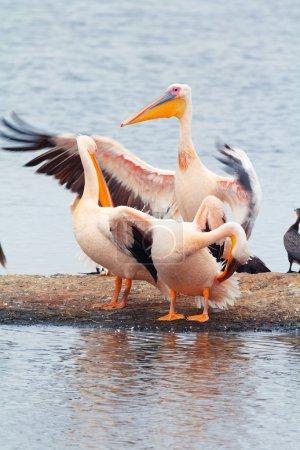 Photo pour Pelicans séchant leurs ailes près du lac Nakuru, Kenya - image libre de droit