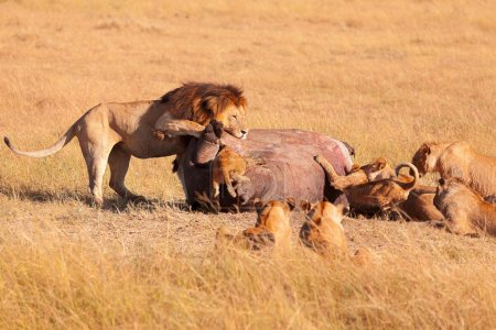 Pride of lions eating pray