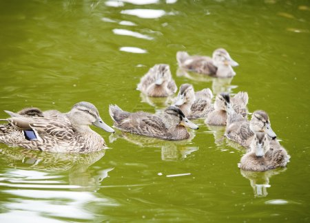 Photo for Close up of floating ducks on green lake, wild nature - Royalty Free Image