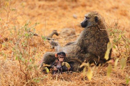 Photo pour Babouin bébé suceur, Kenya - image libre de droit