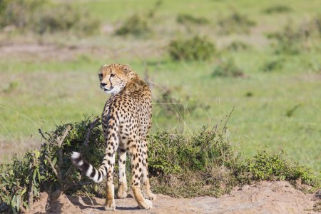 A cheetah (Acinonyx jubatus) on the Masai Mara National Reserve