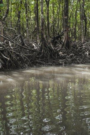 Mangrove tree at Havelock island, Andaman and Nicobar, India