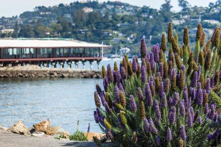 California lilac bush