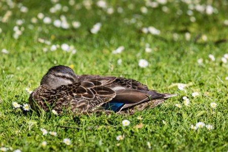Beautiful Mallard Duck on the green grass