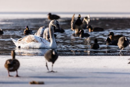 Photo for Mute Swan in the natural winter environment. - Royalty Free Image