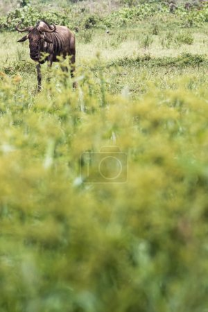 Wildebeests (Connochaetes Taurinus) Walking on Line, Ngorongoro