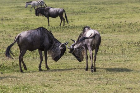 two battling wildebeests about to smash