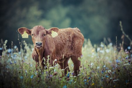 Photo for Cow with calf in the grass, Suwalszczyzna, Poland. - Royalty Free Image