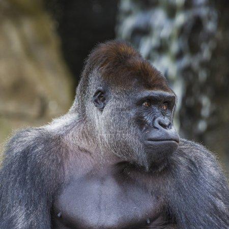 A western lowland female gorilla standing facing f...