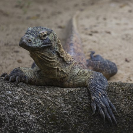Photo for Komodo Dragon, the largest lizard in the world - Royalty Free Image