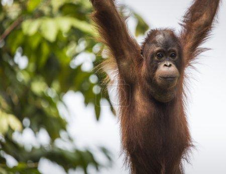 Photo pour Orang-outan dans la jungle de Bornéo Indonésie. - image libre de droit