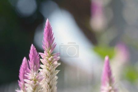 Photo pour Gros plan rose fleur de cockscomb avec fond naturel. - image libre de droit