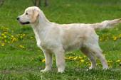 The puppy Golden Retriever