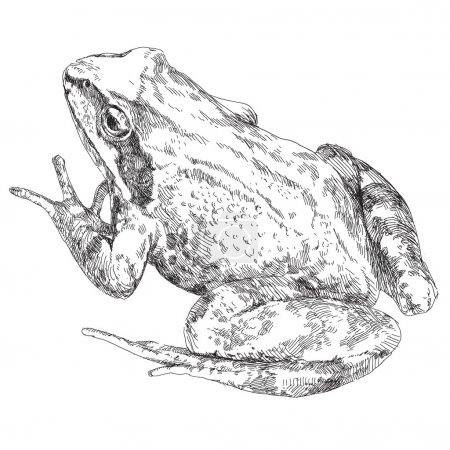 Illustration for Beauty vector hand drawn frog. Vector illustration - Royalty Free Image