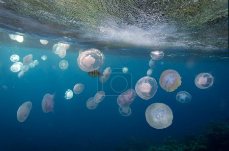 Group of light blue jellyfish