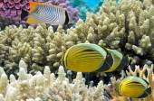 Thalassoma Klunzingeri and Polyp Butterflyfish