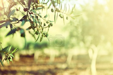 Photo pour Jardin d'oliviers, oliveraie méditerranéenne prête pour la récolte. - image libre de droit