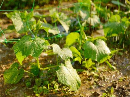 Photo pour Tir de concombres pendant l'arrosage, aliments biologiques - image libre de droit