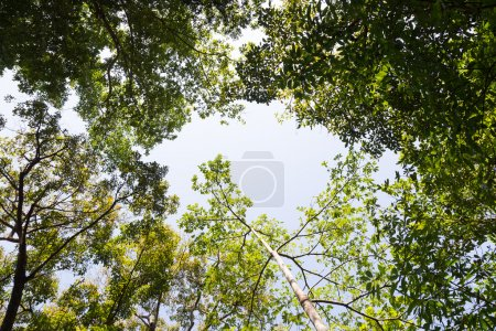 Photo pour Couvert de grands arbres qui recouvrait les ciel arbres dans la forêt, tout le ciel. - image libre de droit