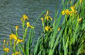 Yellow iris pseudacorus near water