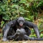 Bonobo mating. The bonobo ( Pan paniscus), formerl...