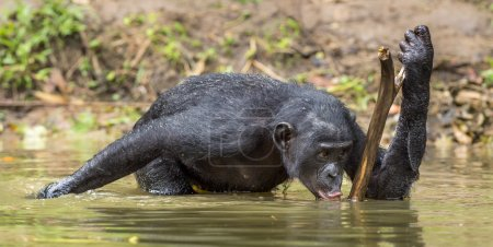 Bonobo drinking water.