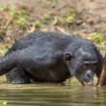 Bonobo drinking water. The chimpanzee Bonobo in th...