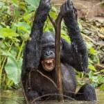 The chimpanzee Bonobo bathes with pleasure and smi...