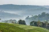 Gray morning fog over tea plantations