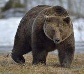 male of Brown Bear