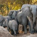 The African bush elephants (Loxodonta africana) on...