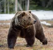 adult male Brown Bear