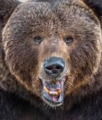 wild adult male brown bear