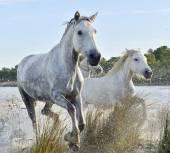 Running White horses of Camargue