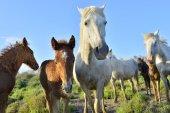 """Постер, картина, фотообои """"Белый Камарг лошадей"""""""