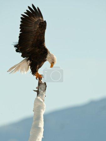 Photo pour AINSI (Haliaeetus leucocephalus) perché sur l'arbre. Chilkat River Alaska États-Unis Amérique  . - image libre de droit