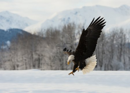 Photo pour Le Pygargue à tête blanche atterrit sur le sol enneigé, ayant étendu les ailes - image libre de droit