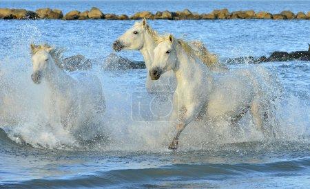 Herd of white horses running through water.