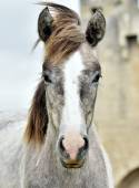 Portrét mladé bílé Camargský kůň