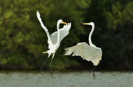 The fighting great egrets (Ardea alba)