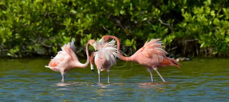 Mating season of Caribbean flamingos