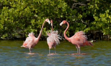 Mating dance of a flamingos