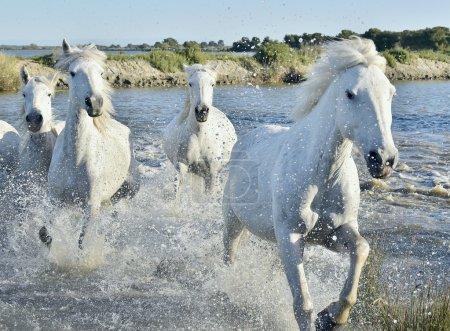 Photo pour Troupeau de chevaux blancs courant et éclaboussant dans l'eau. Provance. France - image libre de droit
