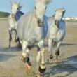 Herd of White Camargue Horses running on the water...