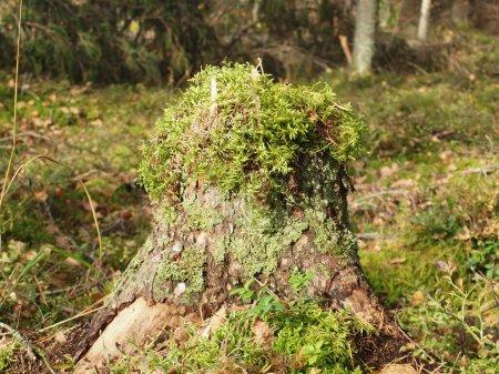 Photo pour Vieux tronc d'arbre envahi par la mousse et le lichen dans la forêt d'automne. - image libre de droit