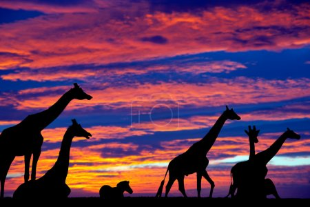 Photo for Sunset zebra and giraffes resting in the grass on fota wildlife park in county cork ireland - Royalty Free Image