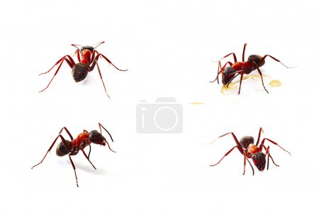 Ants isolated on white